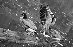 Canadian geese get ready to swim in Ohio. Canadian geese prepare for flight in the Cleveland Metroparks Stock Photography