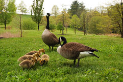 Canadian Geese with Goslings Stock Photos
