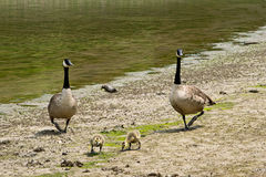 Canadian geese with goslings Royalty Free Stock Images
