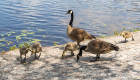 Canadian Geese with Goslings Royalty Free Stock Photos