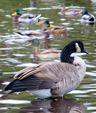 Canadian Geese Group Stock Image
