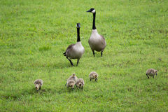 Canadian geese with hatchlings. Baby geese with parents walking in green field stock images