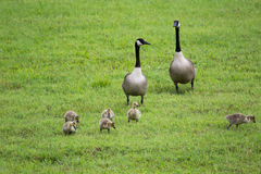 Canadian geese with hatchlings. Baby geese with parents walking in green field stock photo