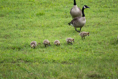 Canadian geese with hatchlings. Baby geese with parents walking in green field royalty free stock photography