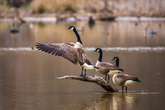 3 Canadian geese royalty free stock image