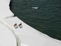 Canadian Geese on Ice Stock Photos