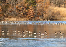 Canadian Geese on Ice Royalty Free Stock Image