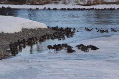 Canadian Geese on ice near open water. Canadian Geese on ice and  near open water Royalty Free Stock Images