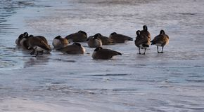 Canadian Geese on ice near open water. Canadian Geese on ice and  near open water Royalty Free Stock Image