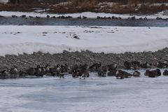 Canadian Geese on ice near open water. Canadian Geese on ice and  near open water Royalty Free Stock Photo