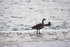 Canadian Geese on ice and in open water. Canadian Geese on ice near open water Stock Photography