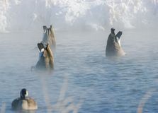 Canadian Geese on Iowa Pond. Canadian geese diving for food in an Iowa pond Stock Image