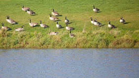 Canadian Geese by a lake Royalty Free Stock Photography
