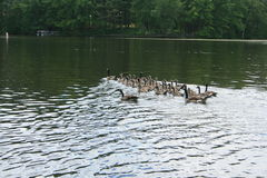 Canadian Geese on Lake. Group of adult and juvenile Canadian Geese swim together on still water Royalty Free Stock Image