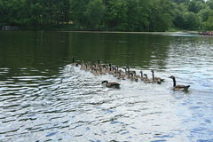 Canadian Geese on Lake 2. Group of adult and juvenile Canadian Geese swim together on still water Stock Images