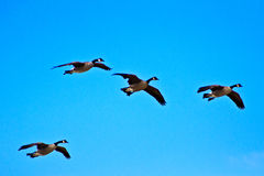 Canadian Geese on Landing Approach Stock Image