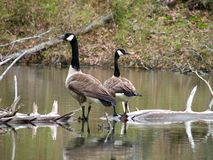Canadian Geese on a Log Stock Image