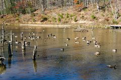 Canadian Geese and Mallards Ducks on a Pond - 3. Canadian geese and Mallards ducks wintering on pond located in the Jefferson National Forest, Giles County Royalty Free Stock Images