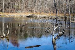 Canadian Geese and Mallards Ducks on a Pond - 4. Canadian geese and Mallards ducks wintering on pond located in the Jefferson National Forest, Giles County Royalty Free Stock Images