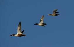 Canadian geese migrating stock photography