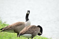 Male and Female Canada Geese Royalty Free Stock Photo