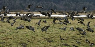 Canadian Geese Migration. A flock of canadian geese (canadensis occidentalis) landing at the Nisqually Wildlife Reserve during their migration south royalty free stock photo