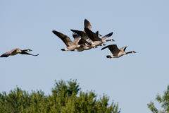 Canadian Geese on the Move Royalty Free Stock Photos