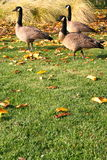 Canadian Geese Near The Lake. Pack of Canadian geese on a shore near the lake during the day Royalty Free Stock Photos