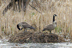 Canadian Geese on a Nest Stock Photo