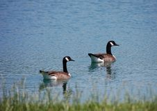 Canadian geese. In northern virginia Royalty Free Stock Photography