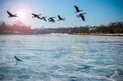 Canadian Geese Over Frozen River Stock Photo