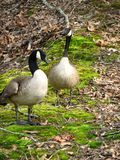 Canadian Geese, Pair. Pair of Canadian Geese with sharp focus on female in rear Stock Images