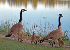 Canadian Geese pair with baby goslings next to Sylvan Lake in Custer State Park in the Black Hills of South Dakota Stock Photos
