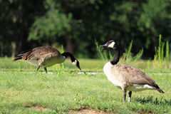 Canadian Geese in a Park Royalty Free Stock Images