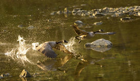 Canadian Geese Royalty Free Stock Photos
