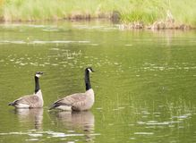 Canadian Geese in the pond Royalty Free Stock Images
