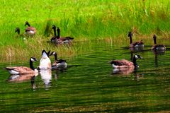 Canadian Geese in a pond stock photos
