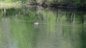 Canadian Geese at pond stock video footage