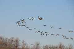 Canadian geese return south Stock Photo