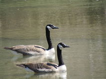 Canadian Geese. 2 Geese in the River Stock Photography