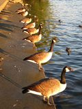 Canadian Geese in a Row. Photo of canadian geese in a row at the potomac river in washington dc lit by late afternoon sun.  These are domesticated birds that Stock Photos