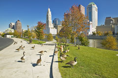 Canadian Geese and Scioto River and Columbus Ohio skyline Stock Photo