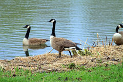 Canadian Geese on the Shore Stock Image