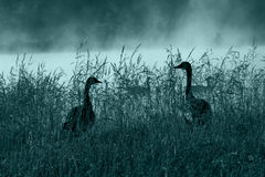Canadian Geese Silhouette. This is Canadian geese, Branta canadensis, or honkers silhouetted by the early morning light and mist coming off the pond in Alabama royalty free stock images