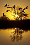Canadian Geese at Sunset stock photo