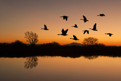 Canadian Geese at Sunset. Silhouetted Canadian Geese flying at sundown over quiet Winter pond on wildlife refuge, San Joaquin Valley, California Royalty Free Stock Image