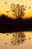 Canadian Geese at Sunset. Silhouetted Canadian Geese flying at sundown over quiet Winter pond on wildlife refuge, San Joaquin Valley, California Stock Photos