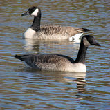 Canadian Geese Swimming. Two Canadian geese quietly swimming in different directions Royalty Free Stock Image