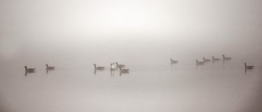 Canadian Geese swimming in heavy fog. Royalty Free Stock Image