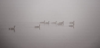 Canadian Geese swimming in heavy fog. Stock Photos